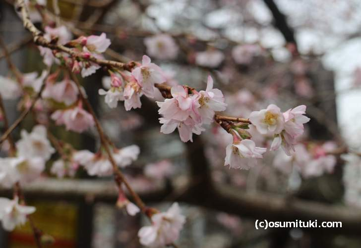 冬に咲く御池通の桜(2018年1月19日撮影)
