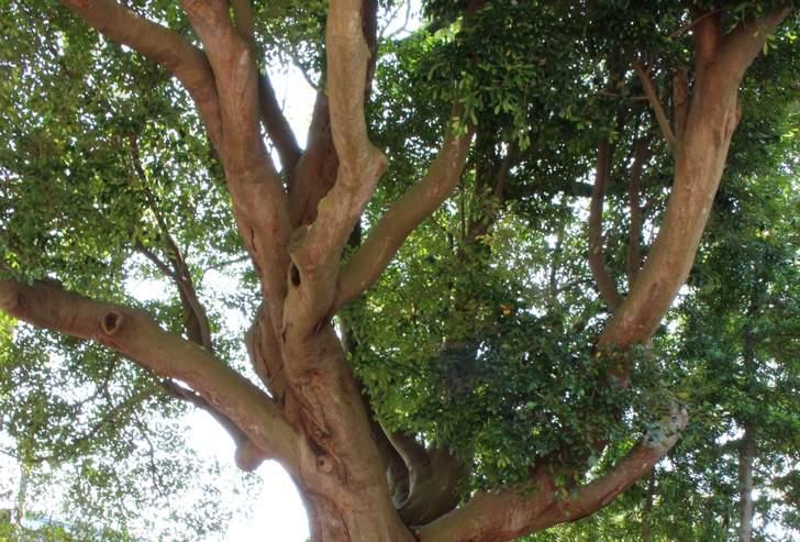 柞の木(いすのき)は暖かい海岸沿いの山あいなどに育つ木のことです