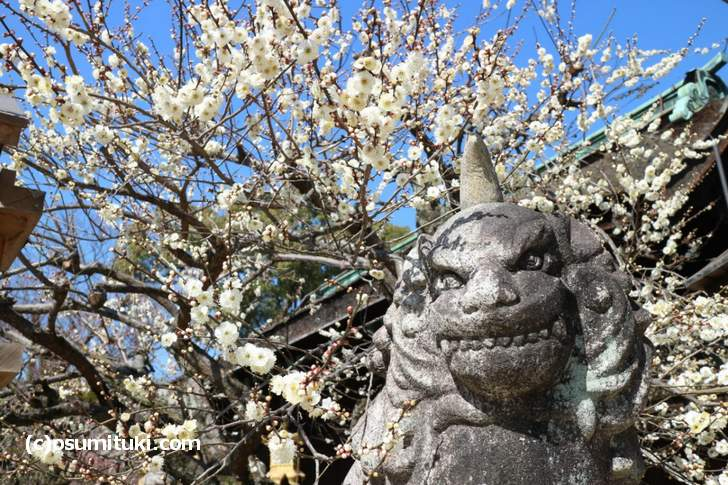三光門(中門)の梅はだいぶ咲いていました
