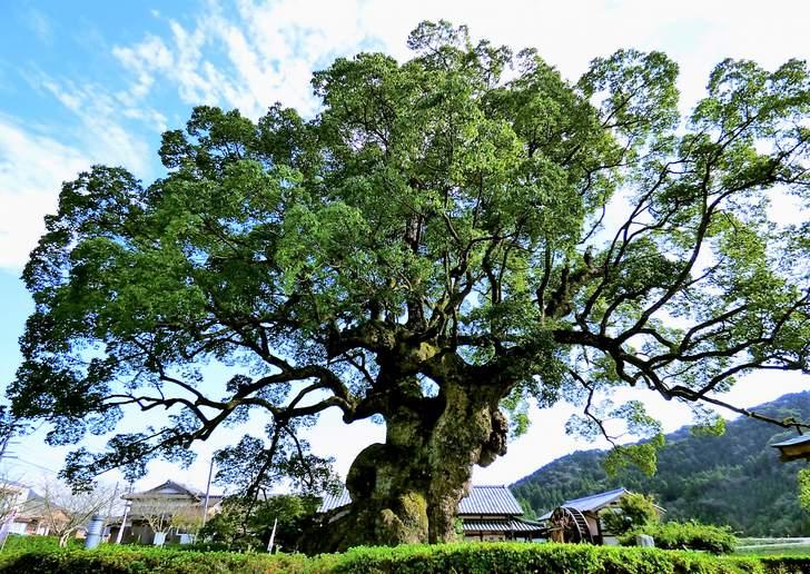 川古の大楠公園にある日本5位の巨木ちかくに「峠の豆腐屋 若木屋豆腐処」さんはあります