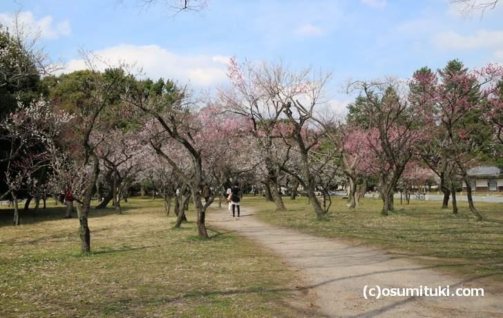 広大な敷地の京都御所の梅と桜はこれからが見頃です