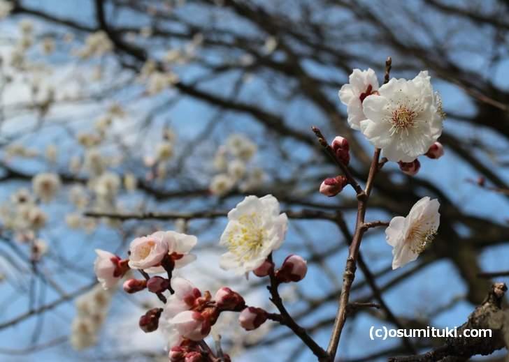 京都御所の梅は、まだまだこれからが「見ごろ」という印象