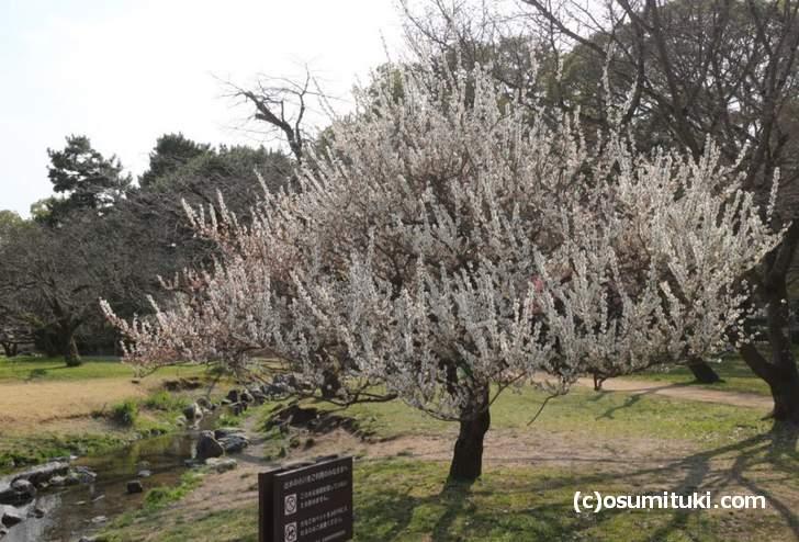 白雲神社前の梅、一斉に真上に伸びる梅の姿が目立ちます