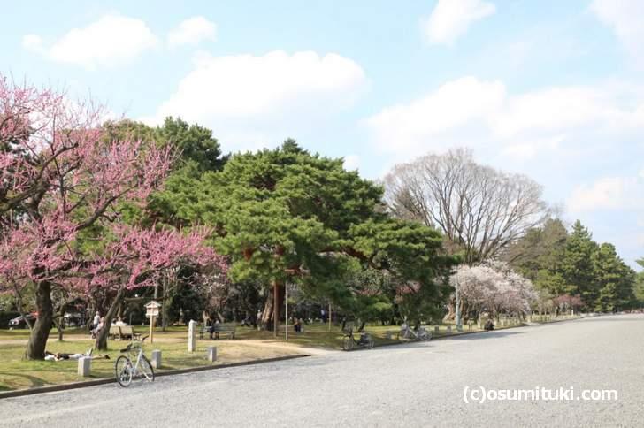 京都御所の通りをブラブラするだけでも梅が見られます