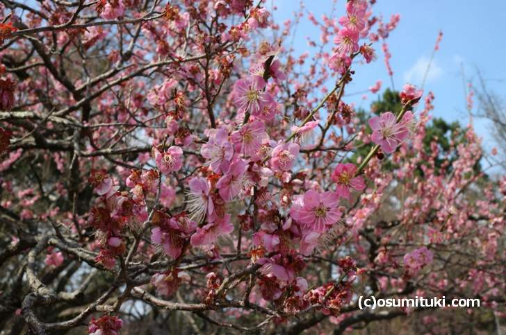 2018年3月15日時点の「梅・桜の開花状況」写真は梅です