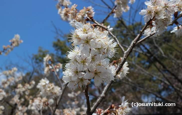平野神社の桜、かなり咲いていました(2018年3月14日撮影)