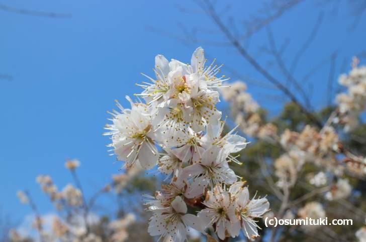 京都の平野神社ではもう桜は咲いていますが、4月にはもっと見頃になります