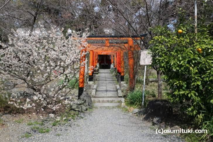 平野神社の「桃桜」は見頃です(2018年3月14日撮影)