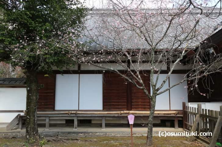 十月桜は満開にならず10月からボチボチと咲いていく桜です