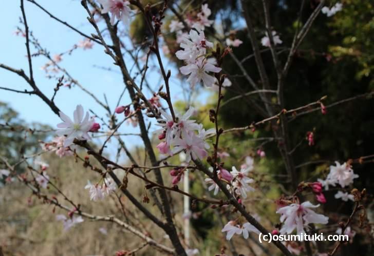 つぼみ・満開・咲き終わりの花が一度に見られるのが「十月桜」です