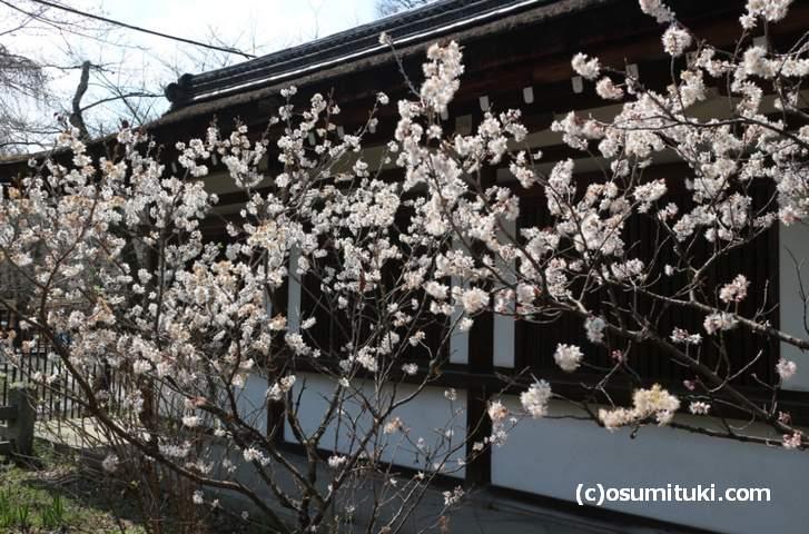 本殿の左側にも「桃桜」が並んでいます