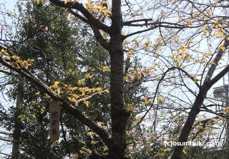 今年は少し早く咲いた平野神社の河津桜(2018年3月14日撮影)