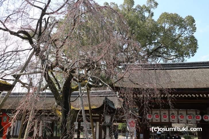 手水のすぐ近くにある大きな桜の木が「しだれ桜」です