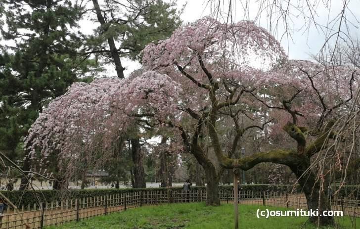 近衛邸跡にあるのが「近衛桜」です