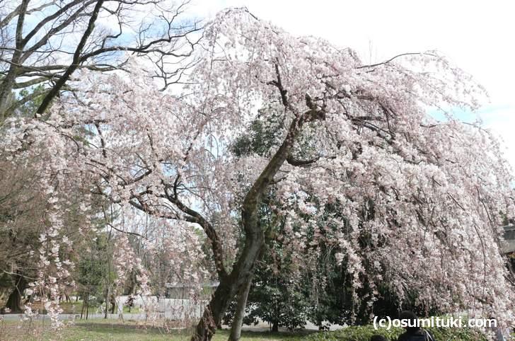 近衛桜も数本ですが桜のトンネルっぽくなっている場所もありました