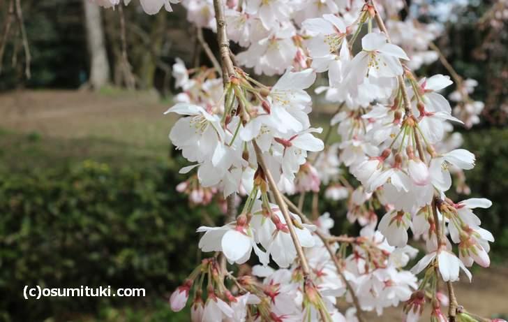 ちょうど良い日に訪問したようで近衛桜は満開です