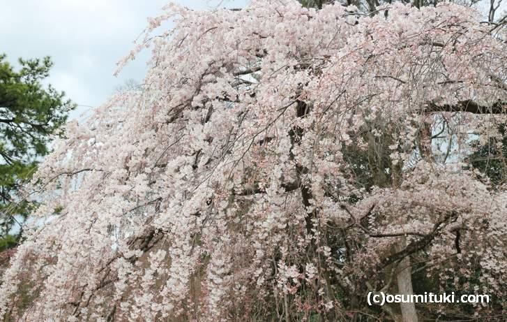 京都御所の近衛桜(シダレザクラ)が満開になっていました