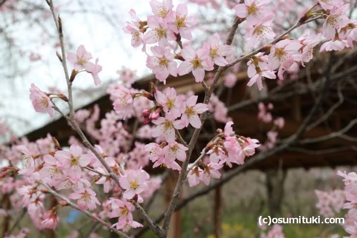 京都の「原谷苑」の桜(2018年3月19日撮影)