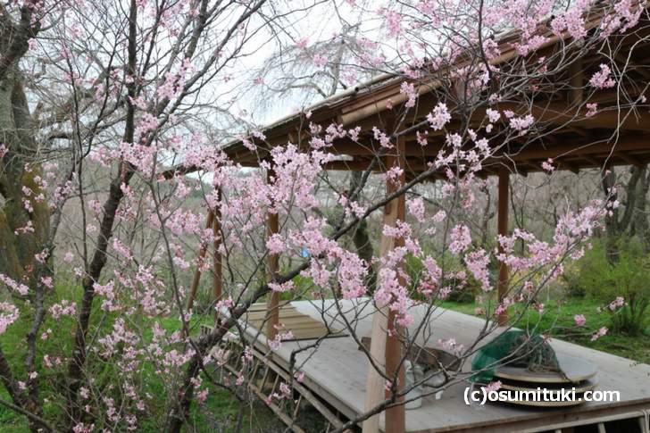 一部で桜が開花していますが早咲きのものだけでした(2018年3月19日朝撮影)