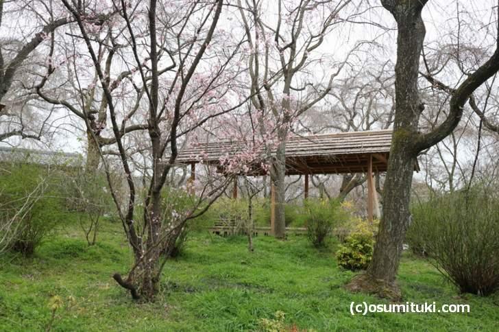 桜は咲いていますが、一部だけの開花になっていました(2018年3月19日朝撮影)