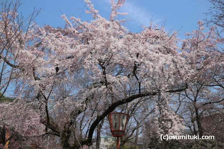 桜の公園では満開になる桜もありましたが、全体的にはまだツボミの状態です(2018年3月26日)