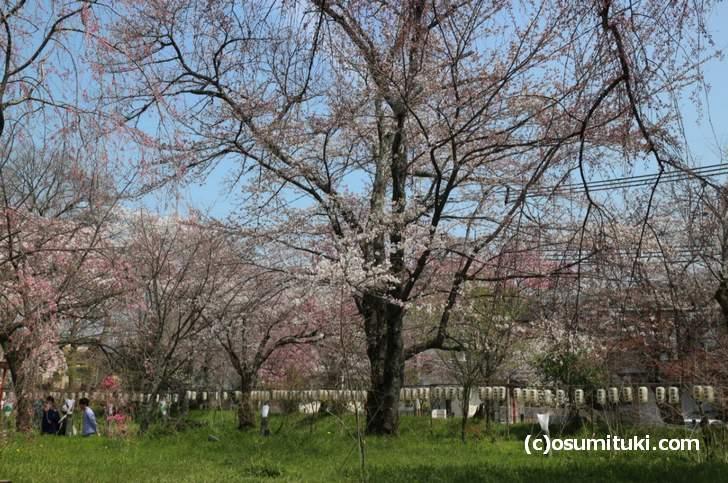 開花しかけの桜が多いので4月初旬には満開になるかも
