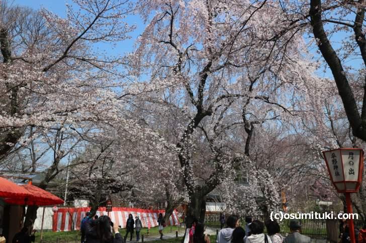 桜の庭園で一番目立つ桜は7分咲きくらいです