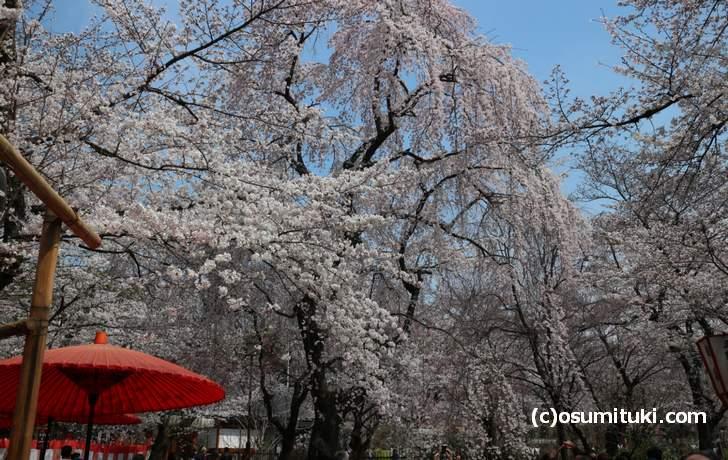 平野神社「桜の公園」も3月末には満開になるでしょう