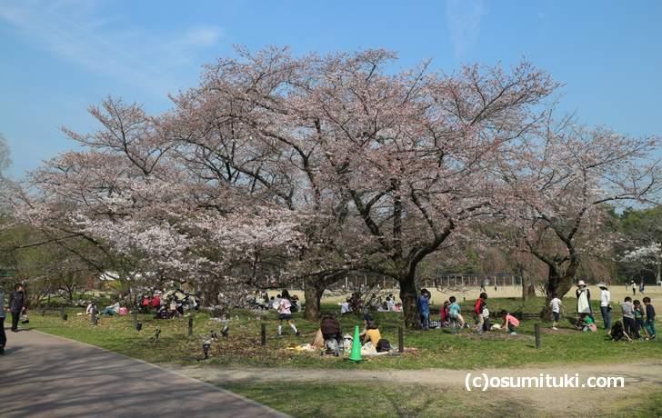 京都府立植物園の桜はツボミが多く、1日~2日で咲き出しそうになっていました(2018年3月26日)
