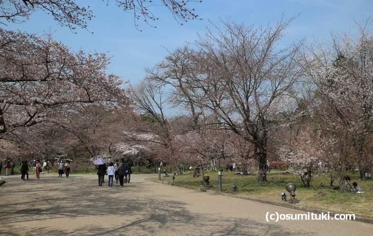 京都府立植物園、桜の多くはまだツボミの状態(2018年3月26日)