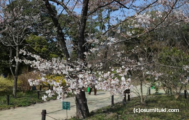 ソメイヨシノは2分咲き(2018年3月26日)