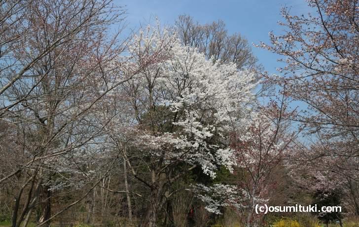 周囲の桜はまだ開花していませんが、エドヒガンは寒桜なのですでに満開です