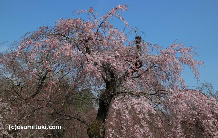シダレザクラは5分咲き、もうすぐ満開です