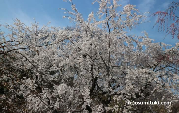 京都府立植物園は2018年4月入ってすぐが見頃だと思われます