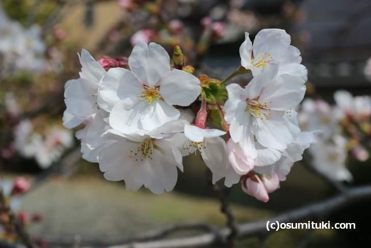 千本釈迦堂 入ってすぐの桜はもう満開近いです(2018年3月26日)