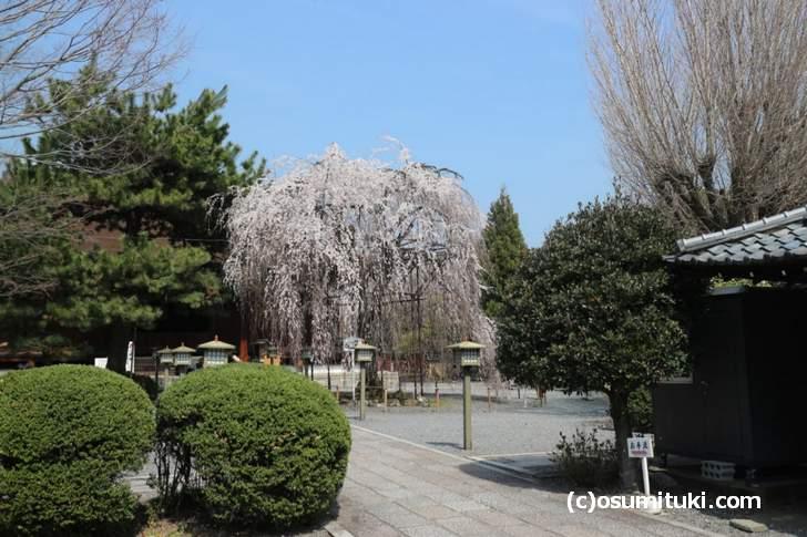 千本釈迦堂 桜の開花状況2018