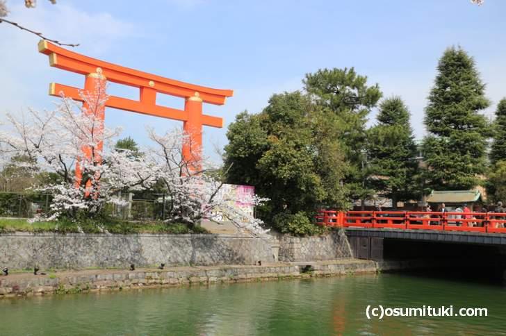 平安神宮の大鳥居付近にある「岡崎疎水の桜」は満開に近い状況でした(2018年3月27日)