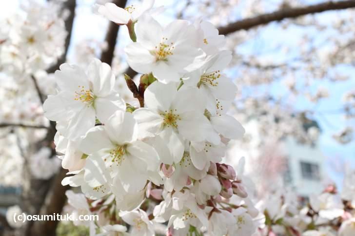 岡崎桜回廊のソメイヨシノ(2018年3月27日)