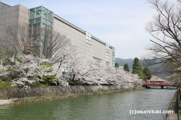 京都国立近代美術館周辺の桜はかなり咲いていました(2018年3月27日)