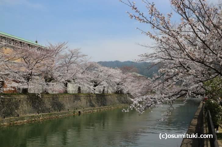 京都市美術館の前の桜もほぼ満開に近い状況でした(2018年3月27日)