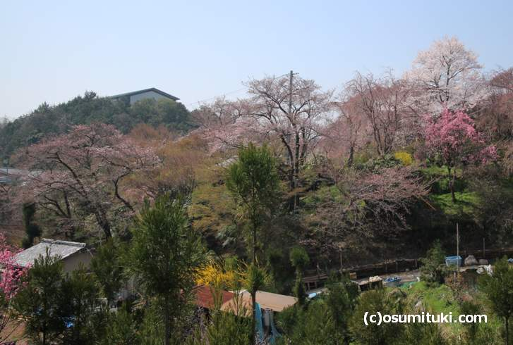 2018年3月28日の原谷苑、有料公開となり桜はツボミが多いけど咲いているものもあります