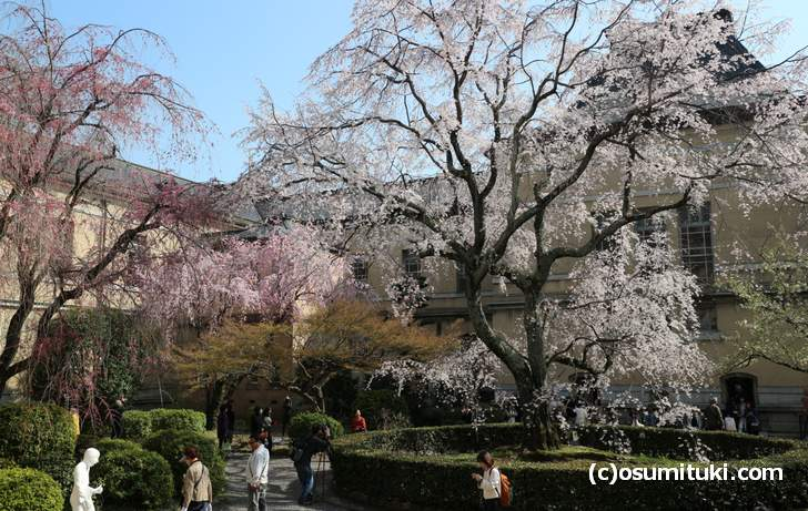 京都府庁の桜、すでに満開の見頃をむかえていました