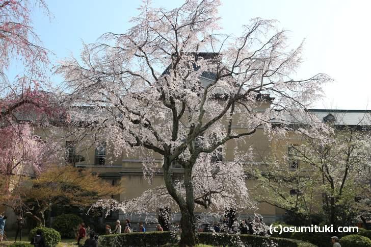 京都府庁 中庭にある「祇園しだれ桜」が満開で見頃