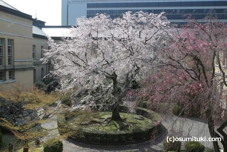 二階から見た「祇園しだれ桜」