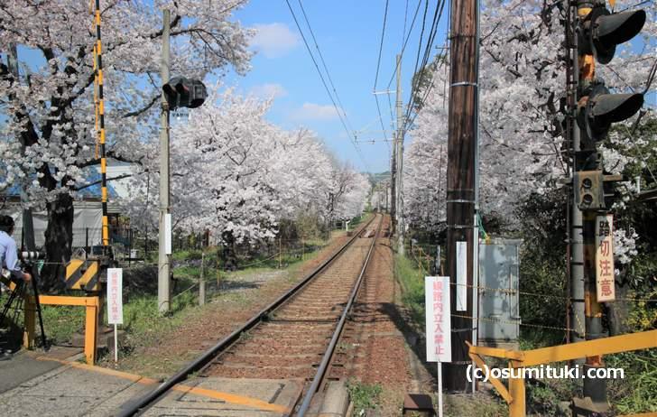 嵐電「鳴滝駅」近くにある桜のトンネル(2018年3月28日撮影)