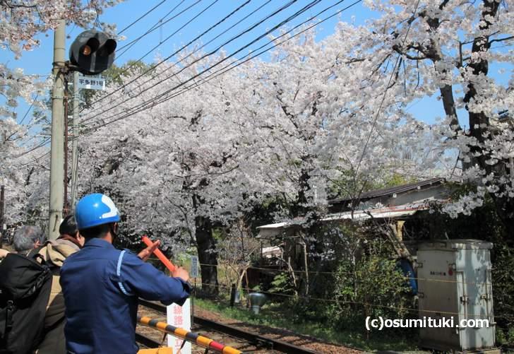 宇多野1号踏切から見た桜は満開でした(2018年3月28日撮影)