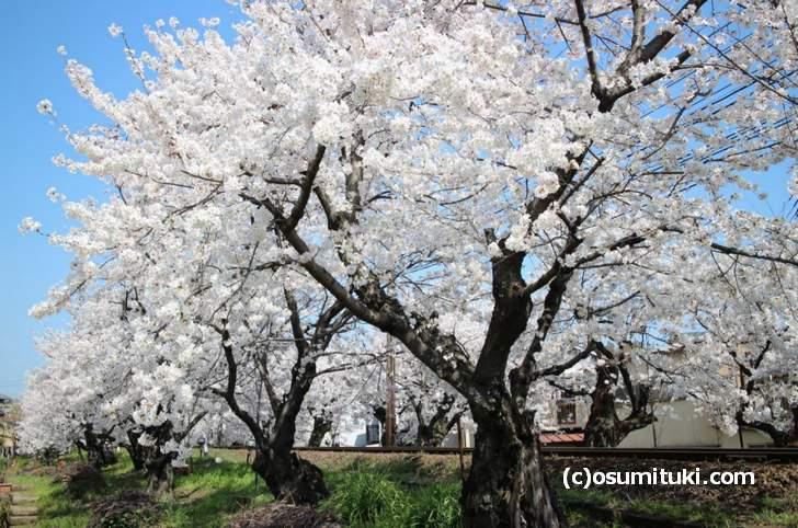 桜のトンネル 2018開花状況