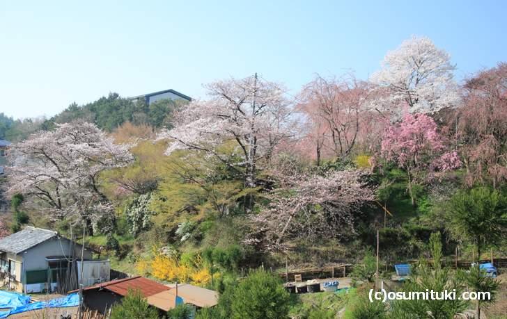 2018年3月29日の原谷苑、前日と較べて、だいぶ開花しています(3分咲き)