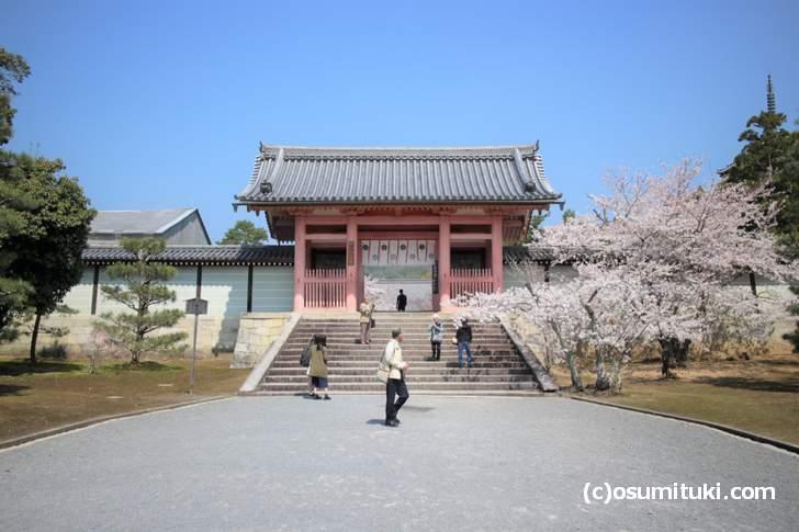 仁和寺の桜、ソメイヨシノはすでに満開となっています(2018年3月28日撮影)
