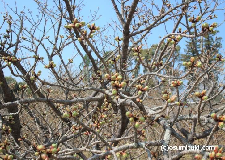 御室桜はツボミですが、4月3日頃に満開になりそうです